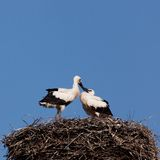 White stork baby birds in a nest. The white stork young baby birds costs in a big nest from rods Royalty Free Stock Images