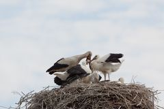 White stork baby birds in a nest Royalty Free Stock Photos