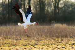 The White Stork Royalty Free Stock Photography