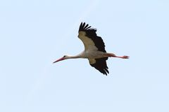 White stork BIF Stock Photos