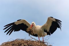 The white stork with big open wings. And a grass in a beak costs in a nest Stock Photos