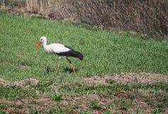 White stork bird on green summer field. White stork (Ciconia ciconia) bird on green summer field stock image