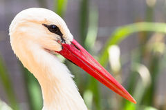White Stork Bird Head. A Head only portrait picture image of the White Stork with its long red beak and white and black tinted feathers around its eyes Royalty Free Stock Image