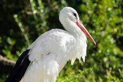 White stork bird in nature Royalty Free Stock Photography