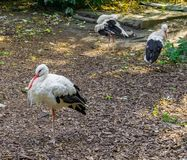 White stork bird with 2 other white storks in the background wildlife animal portrait stock photography