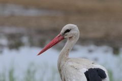 White stork. In the bird paradise in Turkey Royalty Free Stock Images