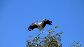 White stork bird standing on branch, bird of passage. White storks are birds of passage. They are large, long-legged, long-necked wading birds with long, stout Royalty Free Stock Image