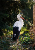 White stork bird. Standing in a forest in evening light Stock Photos