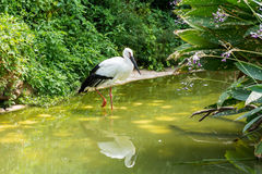 A white stork bird standing in a green lake Stock Photography