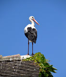 White stork bird standing on roof top of a house, bird of passage. White storks are birds of passage. They are large, long-legged, long-necked wading birds with Royalty Free Stock Photography