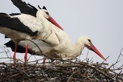White Stork birds on a nest during the spring nesting period. In north-eastern Poland royalty free stock photos