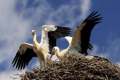 White Stork birds on a nest in spring season. White Stork birds on a nest during the spring nesting period Royalty Free Stock Photo