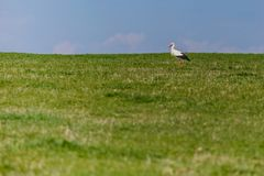 Wild white stork grazing in green grass on a sunny day royalty free stock image