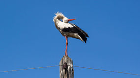 White stork on a blue sky Royalty Free Stock Images