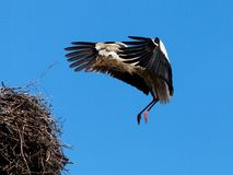 White stork in blue sky. The white stork costs in a big nest from rods against the blue sky Royalty Free Stock Photos