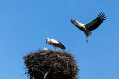 White stork in blue sky. The white stork costs in a big nest from rods against the blue sky Royalty Free Stock Images