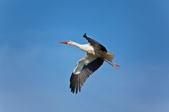 White stork in the blue sky. The white stork flies against the blue sky Royalty Free Stock Images