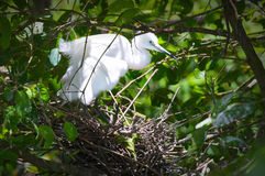 The white stork are building their nests with dry straws in the forest. stock photos