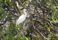 The white stork are building their nests with dry straws in the forest. stock photography