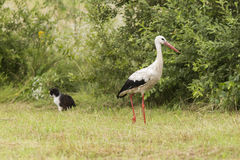 The White stork and the cat Stock Images