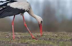 White stork holding a catched worm near a ground stock photo