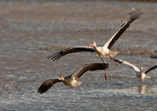 A White Stork chasing a Greylag Goose Stock Images