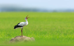 White Stork. Chirps on the grassland tweet Royalty Free Stock Photo