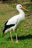 White Stork (Ciconia ciconia) Royalty Free Stock Photo
