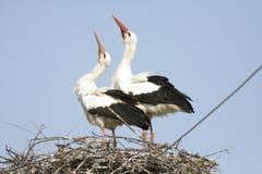 White stork / Ciconia ciconia. A pair of white stork / Ciconia ciconia on nest Stock Photo