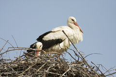White stork / Ciconia ciconia Royalty Free Stock Image