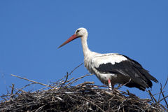 White stork / Ciconia ciconia Stock Photos