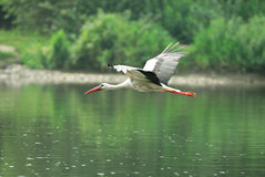 White Stork  (Ciconia ciconia). This Stork is found at Sun river in Bieszczady region of Poland Stock Image