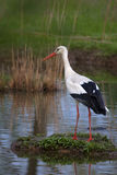 White Stork (Ciconia ciconia). A white stork on an island in the river Royalty Free Stock Images