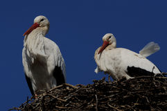 White Stork ( Ciconia ciconia ) Royalty Free Stock Photo