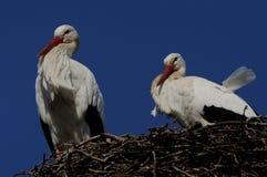 White Stork ( Ciconia ciconia ) royalty free stock photo