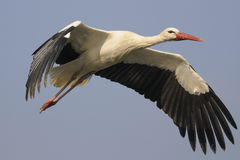 White Stork - Ciconia ciconia Royalty Free Stock Images