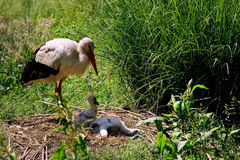 A white stork, ciconia ciconia Stock Photo