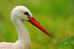 White Stork (Ciconia ciconia). White Storks (Ciconia ciconia) fly south from their summer breeding areas in Europe in August and September, to Africa. They spend royalty free stock photography