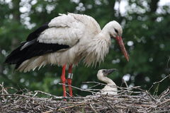White Stork, Ciconia ciconia Stock Image