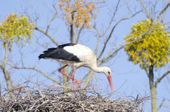 White Stork (ciconia ciconia) Royalty Free Stock Image