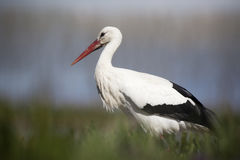 White Stork - ciconia ciconia. White Stork walking on the grass stock photo