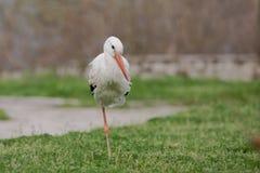 White stork (Ciconia ciconia). Stock Photos