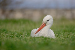 White stork (Ciconia ciconia). Royalty Free Stock Images