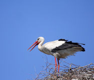 White Stork ( Ciconia Ciconia ) Royalty Free Stock Images