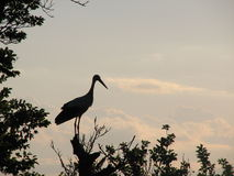 White stork (Ciconia Ciconia). Resting on a tree Stock Photos