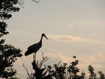 White stork (Ciconia Ciconia) Stock Photos