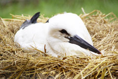 White Stork / Ciconia ciconia ( 8 weeks old ) Royalty Free Stock Image