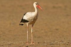 White stork (Ciconia ciconia). Migratory white stork (Ciconia ciconia), Kalahari, South Africa royalty free stock image