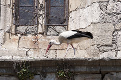 White stork, Ciconia ciconia. Adult of White stork, Ciconia ciconia, on a corbel of a church. Photo taken in Soto del Real, Madrid, Spain Royalty Free Stock Photography