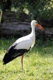 White Stork / Ciconia ciconia Stock Image